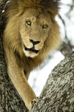 Lion on a tree Royalty Free Stock Photography