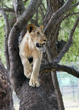Lion on a tree branch. Young lion on a tree branch Royalty Free Stock Image