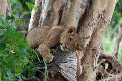 Lion on a Tree Royalty Free Stock Images
