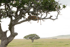 Lion on tree Stock Photography