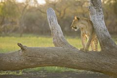 Lion on a tree at Sunset Stock Photography
