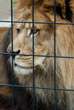 Lion triste mis en cage Photographie stock