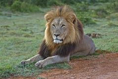 Lion Tsama d'Addo photographie stock libre de droits