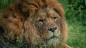 Lion Turns And Looks At Camera