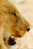 Lion with tusk Stock Photo