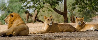 Lion and two lioness. In Ramat Gan Zoo royalty free stock photos