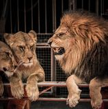 Lion and two lioness. Gorgeous roaring lion and two lioness on circus arena Stock Image