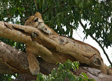Lion in Uganda. A Lion resting in a tree in Uganda (Africa royalty free stock images
