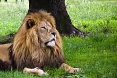 Lion under tree Royalty Free Stock Photography