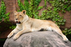 Lion, United States Stock Images