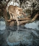 Lion Up joven en un árbol dentro de un lago, viendo su reflexión encendido Fotos de archivo libres de regalías