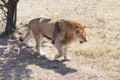 Lion V Photo libre de droits
