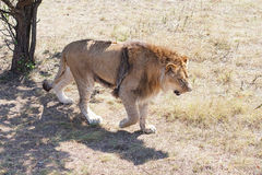 Lion V Royalty Free Stock Photo