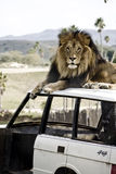 Lion on a Vehicle. Male lion with mane on an abandoned vehicle outdoors Royalty Free Stock Images