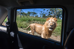 Lion Vehicle Window Stock Photos
