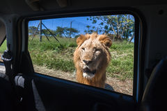 Lion Vehicle Window Stock Photography