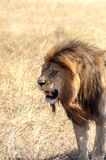 Lion in vertical Royalty Free Stock Images