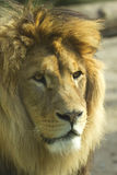 Lion (vertically). Detailed portrait of the mighty lion Stock Photography