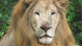 Lion View Royalty Free Stock Photography