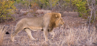 Lion Visitor Royalty Free Stock Images