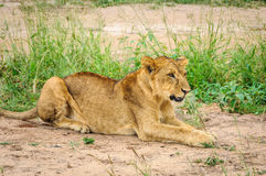 Lion waiting to hunt in Tarangire Park, Tanzania Royalty Free Stock Photography