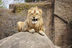 Lion. Waking up, photographed in habitat posing on rock, Lincoln Park Zoo, Chicago Stock Photo
