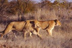 Lion walk Stock Photos