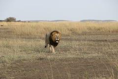 Lion walk in the wild maasai mara Royalty Free Stock Images