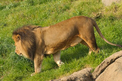 Lion on a walkabout Stock Photography