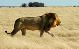 Lion walking. A male lion walking against the wind in yellow savannah grass Stock Photos