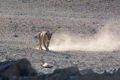 Lion Walking Photos libres de droits