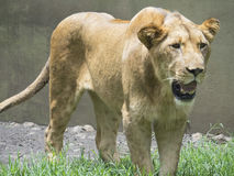 Lion Walking fotos de archivo