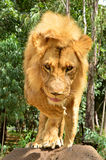 Lion Walking Immagine Stock