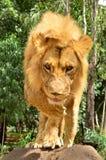 Lion Walking Immagine Stock