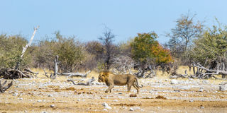 Lion walking in african savanna Royalty Free Stock Photo