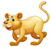 Lion walking alone on whitebackground Royalty Free Stock Photos