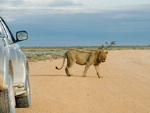 Lion walking by car, Namibia Stock Image