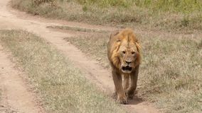 Lion walking on the footpath