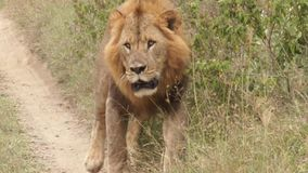 Lion walking on the footpath stock video