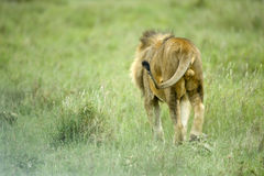 Lion walking on grass Royalty Free Stock Photography