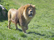 Lion walking on grass Stock Images