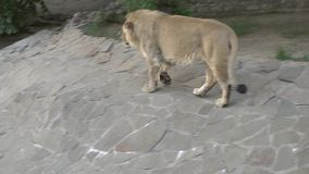 Lion at the zoo. A lion walking in the grass stock footage