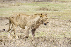 Lion walking Stock Photography