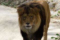 Lion walking stock photo