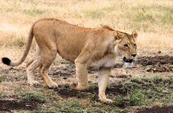 Lion walking. A male lion walking through long grass in Kenya's masai Mara Royalty Free Stock Image