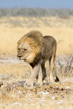 Lion walking Stock Photos