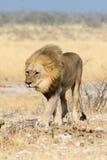 Lion walking Stock Photos