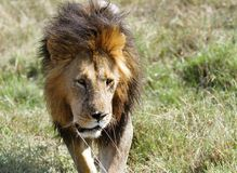 A lion walking on the Masai Mara grassland Royalty Free Stock Image
