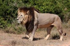 Lion Walking masculino Fotos de archivo