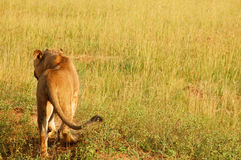 Lion walking off royalty free stock photo